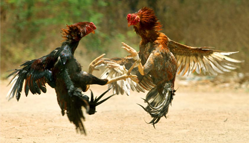 SC asks AP High Court to hear petition to ban cock fights afresh, orders status quo to be maintained