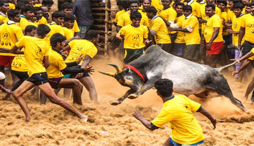 Jallikattu: On AG's Plea SC Says Will Not Pass Verdict For A Week
