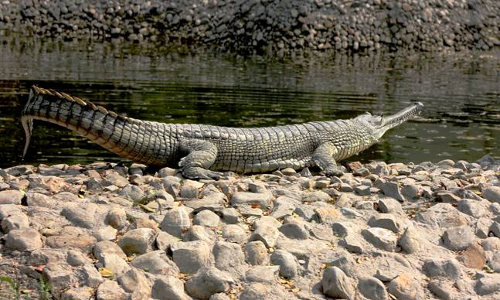NGT Directs MP Govt. To Execute Measures For Conservation Of Son Gharial Sanctuary, Check Illegal Mining Activity