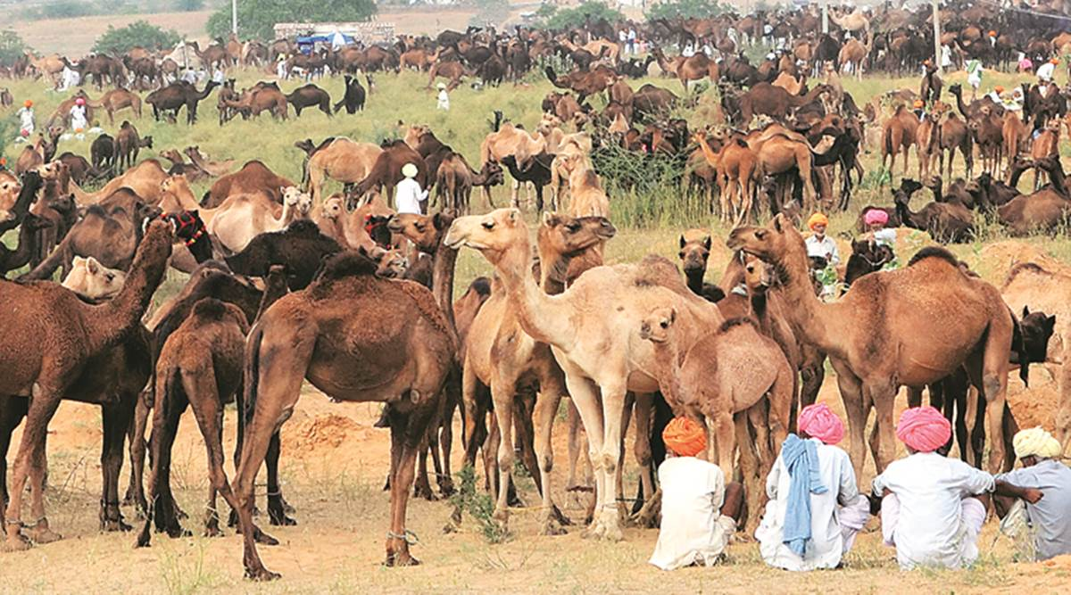Transport And Slaughter Of Camels Illegal : Telangana HC [Read Order]