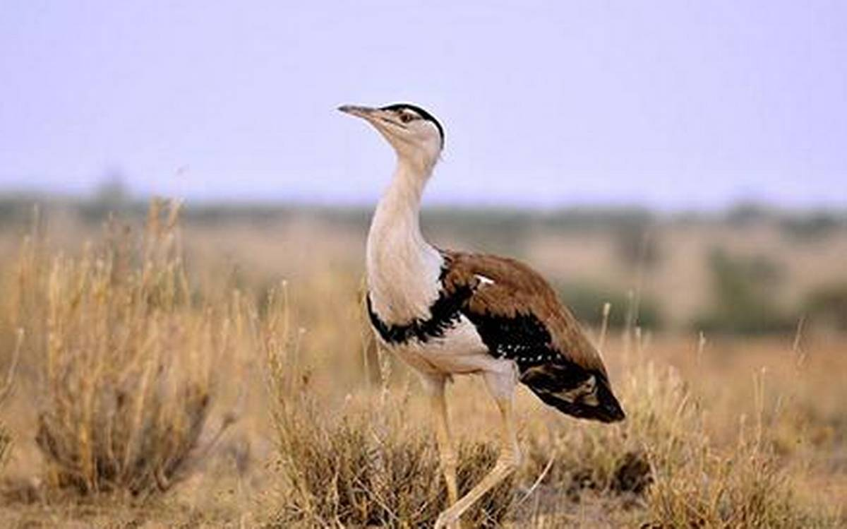 What Steps Are Being Taken To Protect Great Indian Bustard? Karnataka High Court Asks State Govt