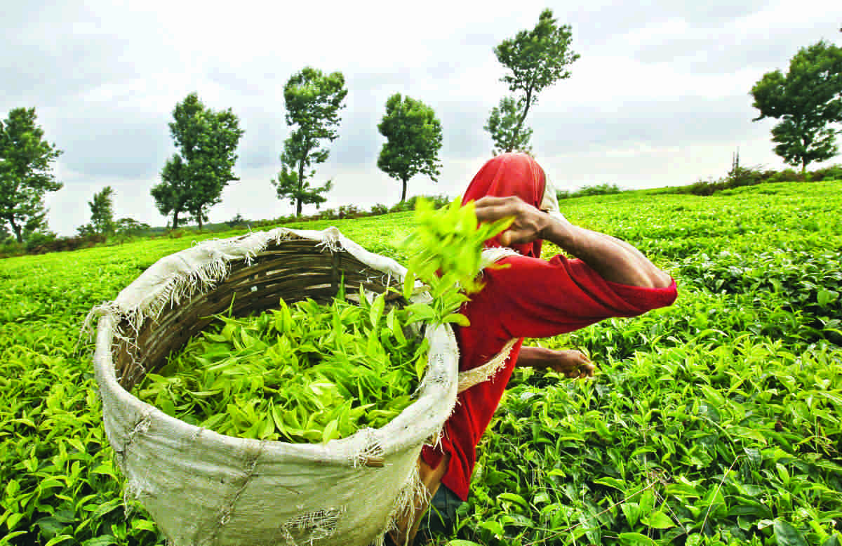 Tea Garden Owners Free To Decide If They Want To Implement Govts Order Increasing Assam Tea Workers Wage: Gauhati High Court