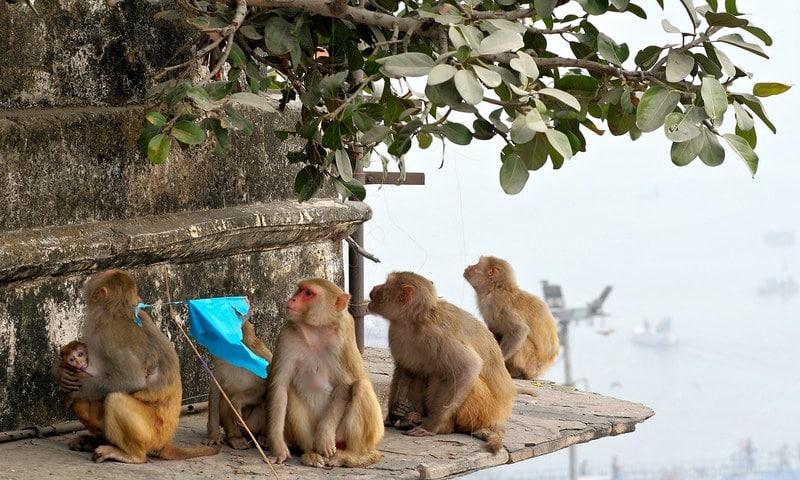 Monkey Menace In Varanasi, Allahabad High Court, shift from city to forest, Acting Chief Justice Munishwar Nath Bhandari and Justice Anil Kumar Ojha,